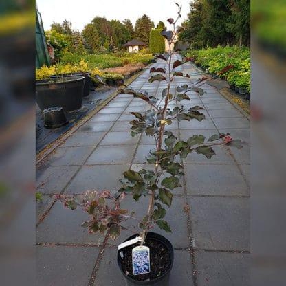 Бук лісовий Purpurea Tricolor