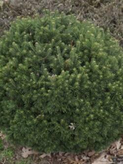 Ялиця гірська Green Globe