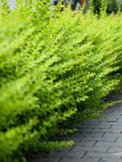 Барбарис Тунберга Green Carpet