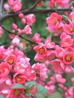 Айва Pink Queen
