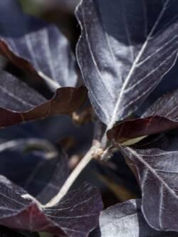 Бук лісовий Dawyck Purple