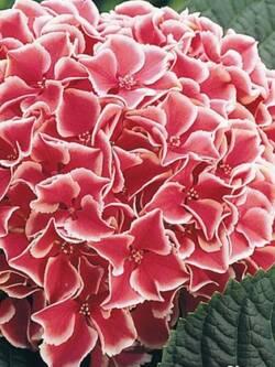 Гортензія широколиста Camilla
