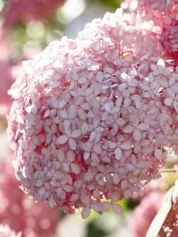 Гортензія волотиста Pink Annabelle